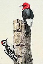 burgessbirdbookf00burg2_0127
